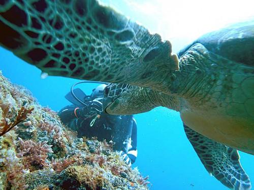 餌を探してのんびり泳いでたアオウミガメ