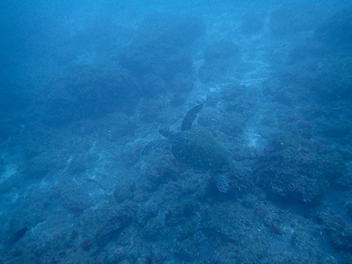 イカの卵を伺いに来てたアオウミガメ