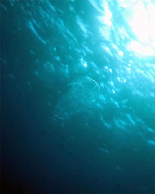 クシクラゲがたくさん浮いてて