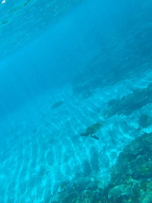 今日はアオウミガメがたくさんで
