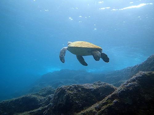 いつものようにアオウミガメは浅場にいたり