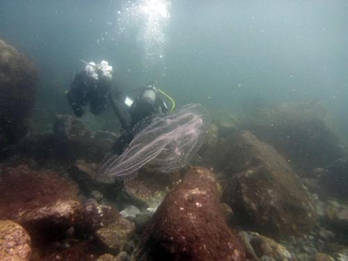 クラゲがたくさん浮いていて