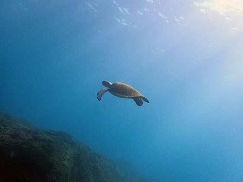 アオウミガメがのんびり泳いでいたり