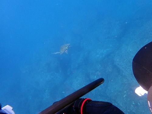 目の前カメが泳いでいたり