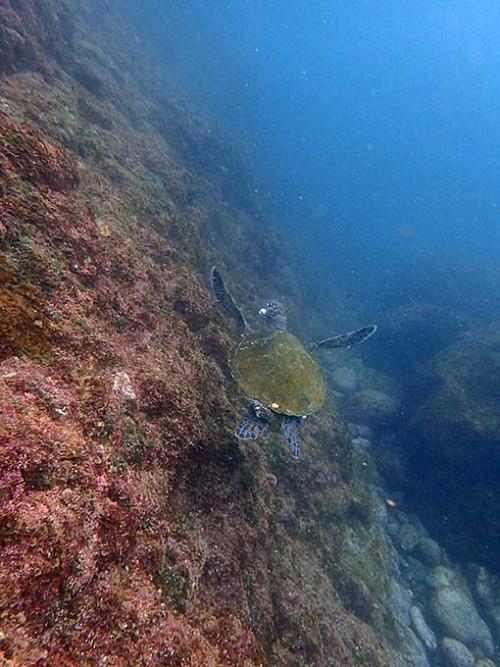 浅場にウミガメたくさんいたり
