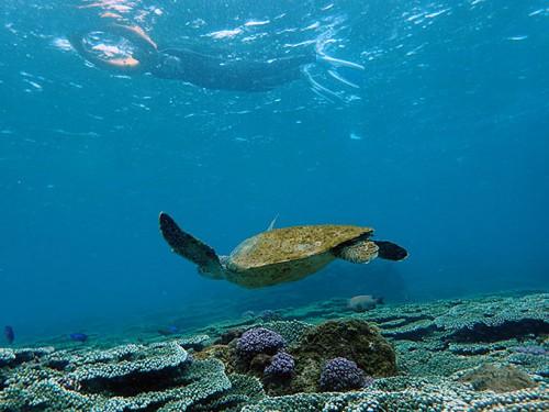 サンゴ上をカメが泳いでおりまして