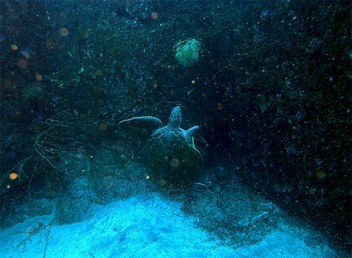 卵食べてたアオウミガメ
