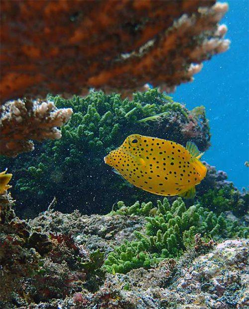 サンゴの下に隠れてたハコフグノ子供
