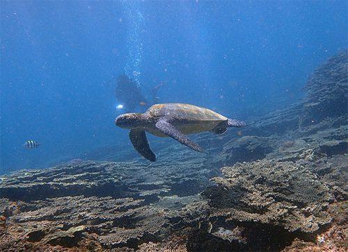 サンゴの上でのんびりしていたアオウミガメ