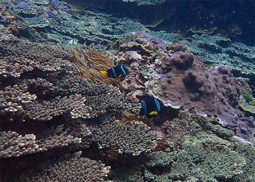 サンゴの間のイソギンチャクにクマノミいたり