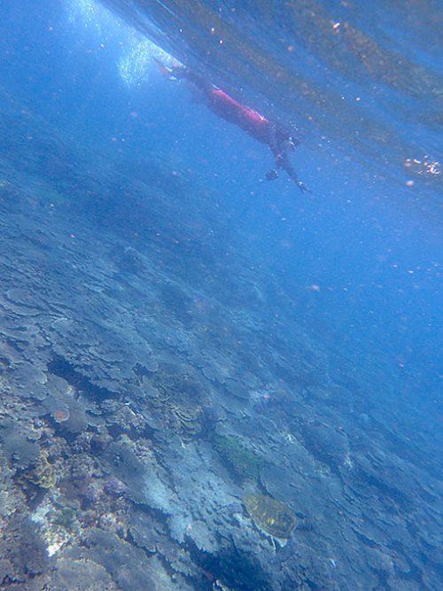 サンゴの上を小さいカメが泳いでいたり