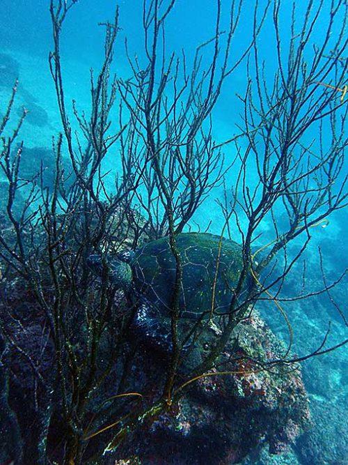 枝の中にアオウミガメ