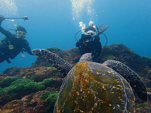 真正面からアオウミガメが泳いできたり