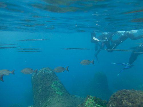 ダツとかメジナの仲間とかが周りを泳いでいたり