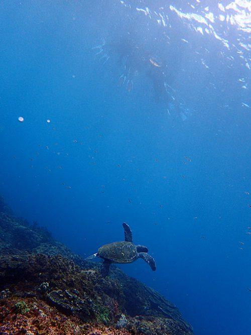 呼吸をしに泳いで行ってるアオウミガメ