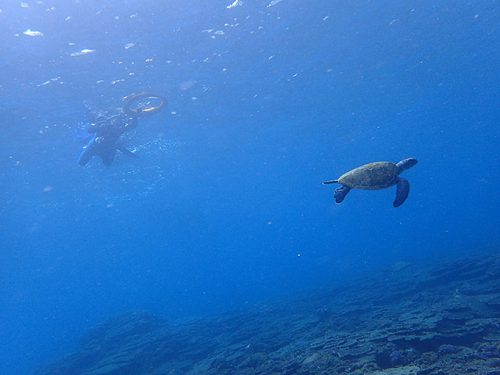 サンゴのとこでもカメ見られ