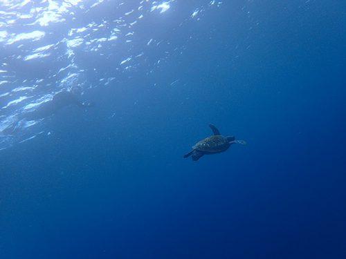 蒼い海でアオウミガメと一緒にシュノーケリング