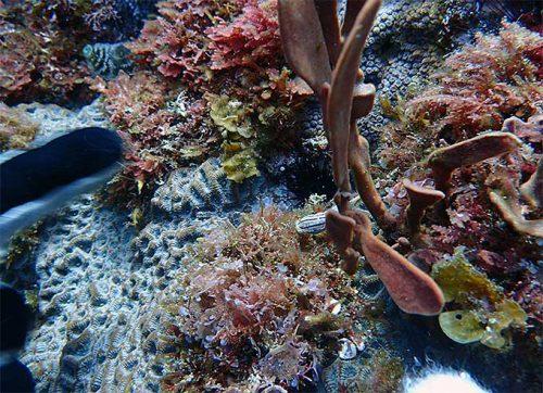 海草の下にコールマンウミウシ
