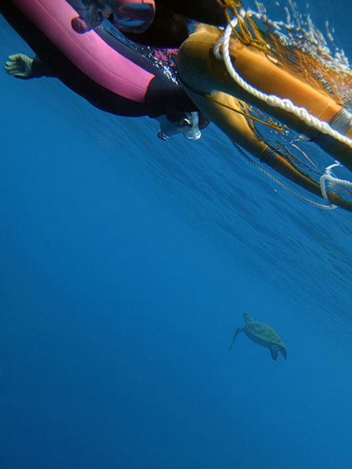 水面付近を泳いできていたアオウミガメ