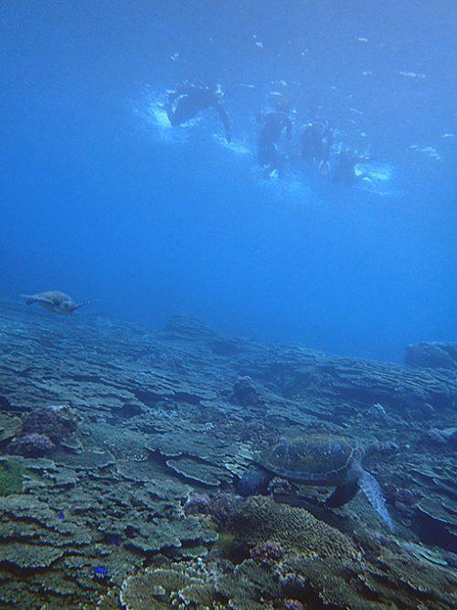 サンゴの所に今日もカメはたくさんいたり
