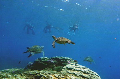 今日もアオウミガメはたくさんいたり