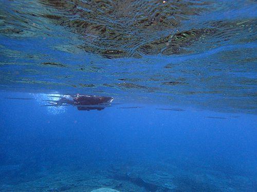水面すれすれに細長いダツの仲間もたくさんいたり