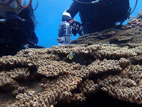 サンゴの間にはヤリカタギのちっこいやつ