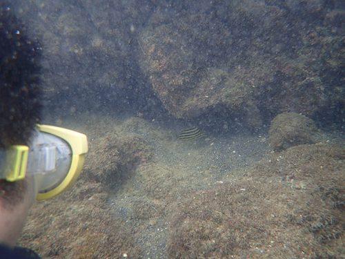 岩陰にカゴガキダイが隠れていたり