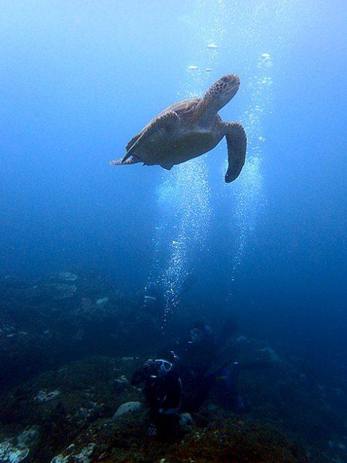 食事を終えて泳ぎ去ってるアオウミガメ