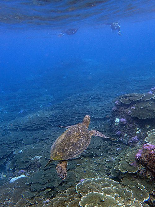 上を伺うアオウミガメ
