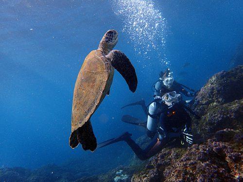 みんなの横をのんびり泳いでてたアオウミガメ