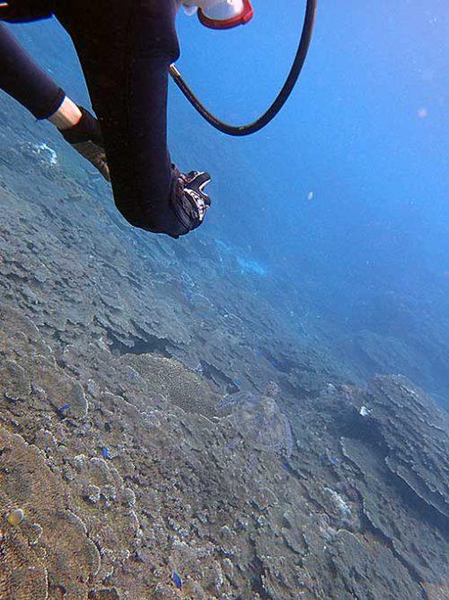 サンゴの上には綺麗な魚やカメもいて