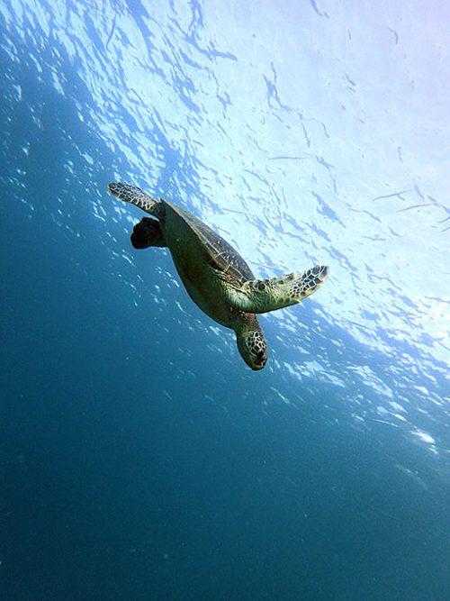 元気に泳ぐアオウミガメ