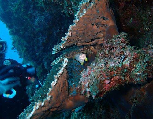サンゴの間のヤリカタギ