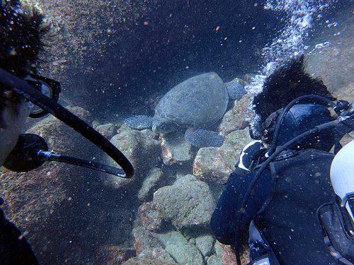 テトラの間で休憩中のアオウミガメ