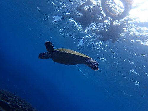サンゴのところには小さいカメもたくさんで
