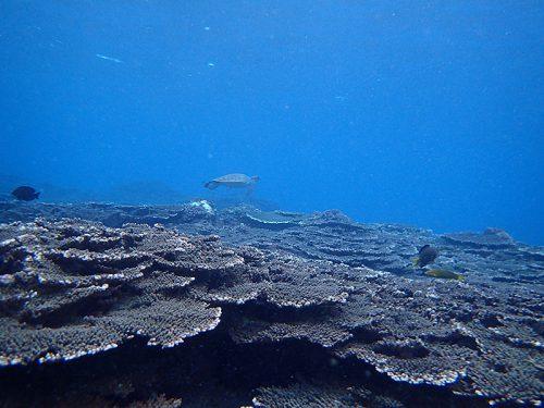遠くの方にアオウミガメ