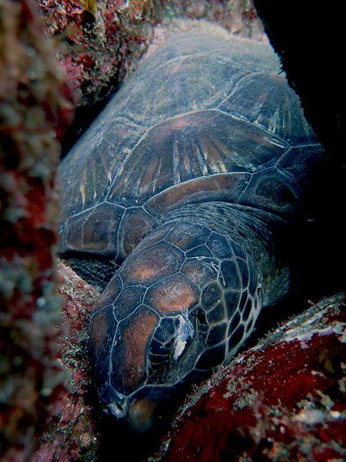 すっかり寝込むアオウミガメ