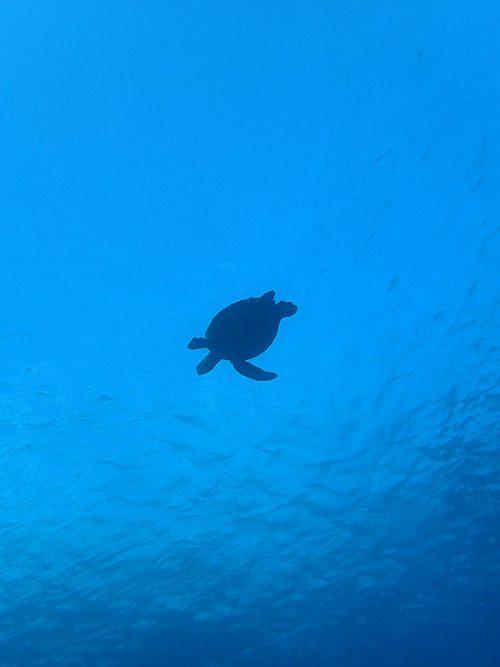 上を泳いでくアオウミガメ