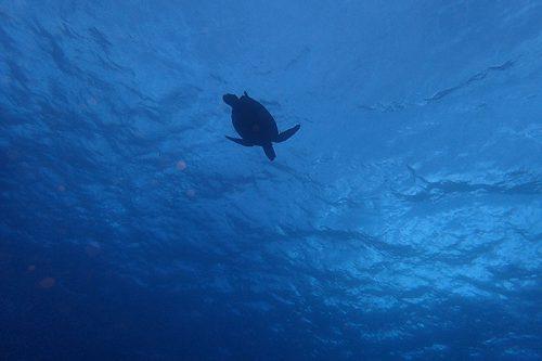 見上げる上にはアオウミガメが泳いでて
