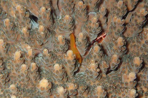 サンゴの間にセアカコバンハゼ