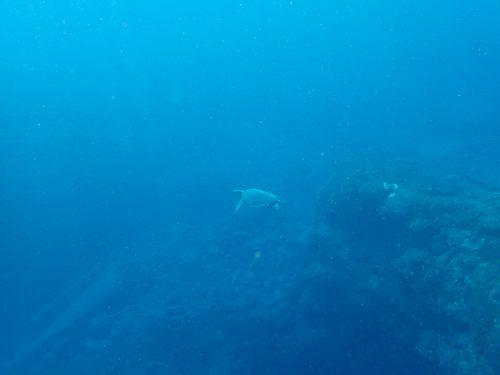 アオウミガメも見てみたり