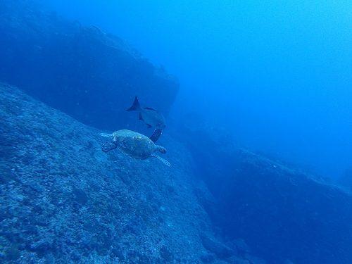 魚にまとわりつかれてたアオウミガメ