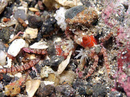 砂に埋もれるキンチャクガニ