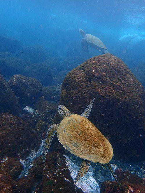 湾内でアオウミガメはお食事中で