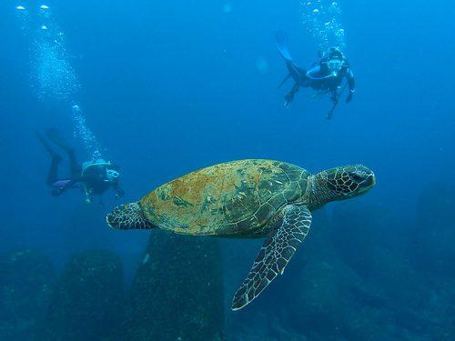 アオウミガメは今日も元気に泳いでいたり