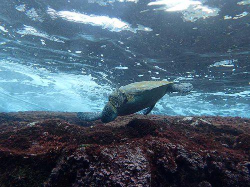 浅場で海草食べまくってたアオウミガメ