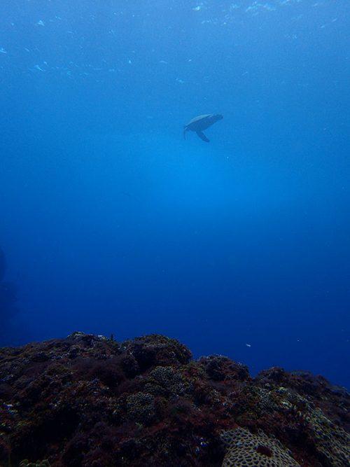 上をウミガメ泳いでいって