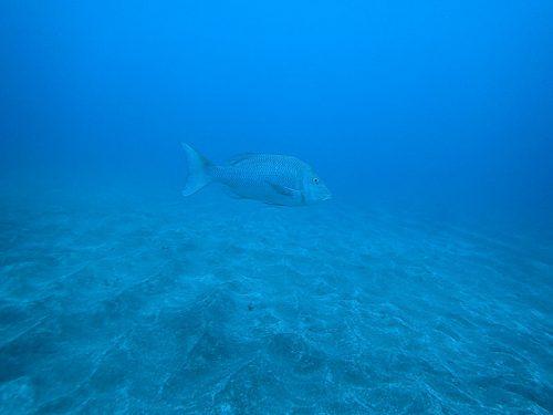 沖でボーっとしてたハマフエフキ