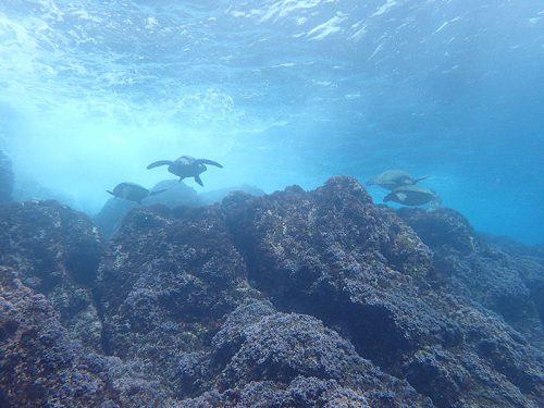 浅場にウミガメ集まっていて